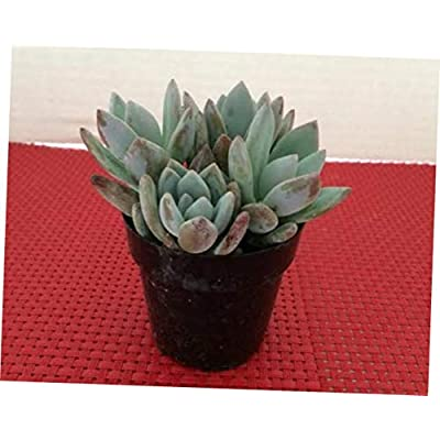 TEE 1 Bare Root Small Succulent Plant. Pachyveria 'Powder Puff' Exotica - RK69 : Garden & Outdoor