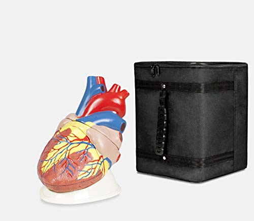 Parco Scientific PB00090-CC3 Jumbo Heart Model, 5X Enlarged, 3 Parts with Carrying Case ()