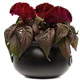Celosia Dracula Seeds - Flower Seeds Package - 100 Seeds