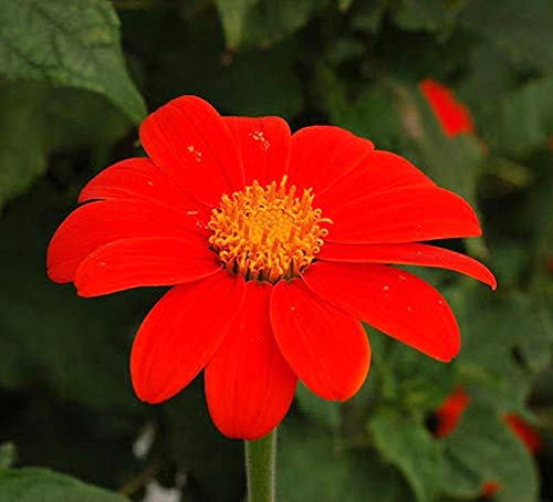 (Mexican Sunflower - red Torch - tithonia speciosa - 250 Quality Flower Seeds)