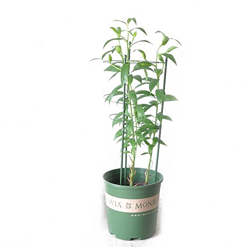 Plant Support Tomato Garden Climbing Vine Stake Support Cage 90cm Pack of 2 by Layboo