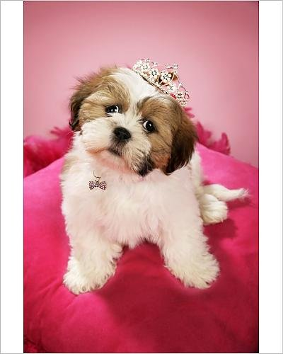 Amazoncom 10x8 Print Of Dog Shih Tzu 10 Week Old Puppy Wearing