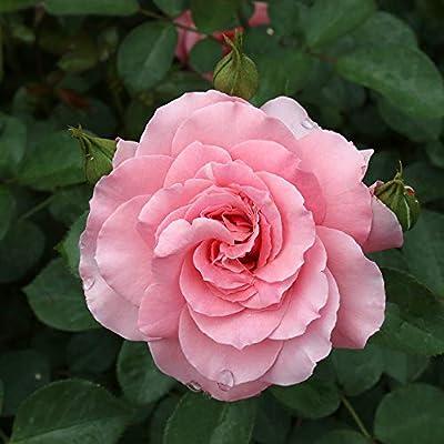 Own-Root One Gallon Sexy Rexy Floribunda Rose by Heirloom Roses : Garden & Outdoor