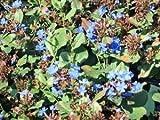 Quart Pot/10 Count Flat: Ceratostigma plumbaginoides Plumbago - Medium Green Foliage with deep Blue Flowers Summer-Fall.