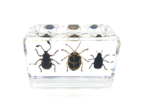 Amazingbug 3 Leaf Beetle(Flea Beetle) Set Paperweights Specimen for Science Education Paperweight for Book for Office for Desk(1.8x1.1x0.8)