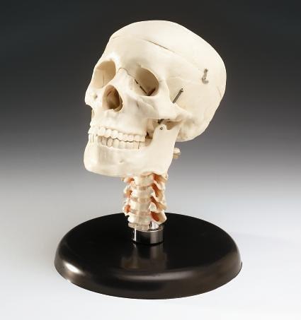 Budget Skull With Cervical Vertebrae With Stand (CS20V)