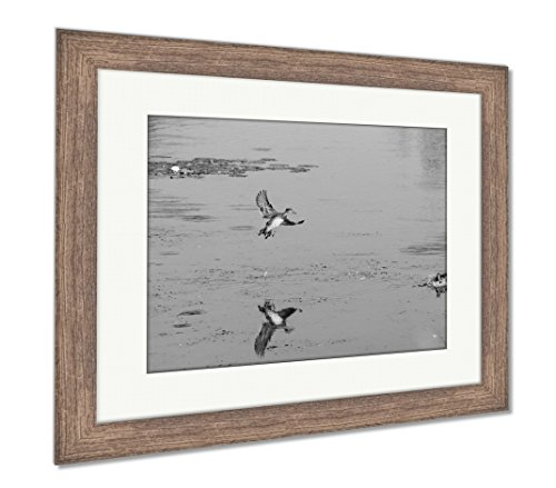 Ashley Framed Prints Male Wood Duck Startles Female While Gliding To Landing, Wall Art Home Decoration, Black/White, 30x35 (frame size), Rustic Barn Wood Frame, (Large Landing Duck)