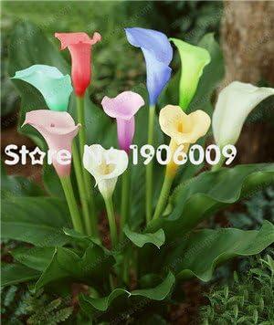 Amazon Com 8 25 Big On Sale 14 Varieties Calla Lily Seeds