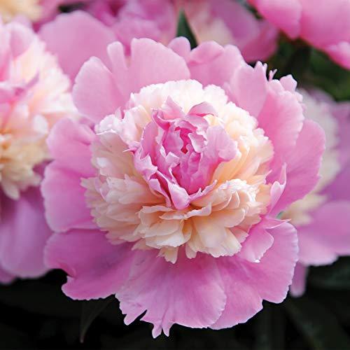 Burpee Perennial Peony 'Sorbet' Pink - 1 Bare Root 3-5 Eye Plant