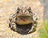 Toad Photograph - Fine Art Nature Photography''Fowler's Toad Stare-down'' - Animal Wall Art