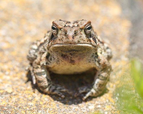Toad Photograph - Fine Art Nature Photography''Fowler's Toad Stare-down'' - Animal Wall Art by New Leaf Photography