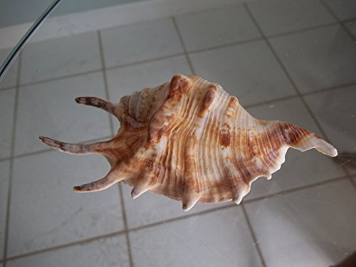Lambis Lambis Spider Conch Shell