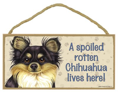 Chihuahua (Long haired, black and tan) - A spoiled