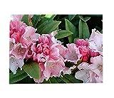Mardi Gras Rhododendron - Quart Pot