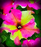 Fancy Dress Petunia Flower Seed Pack 100 Stratisfied Seeds