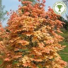 Acer pseudoplatanus Brilliantissimum maple tree in a 12L container Top worked at 120cm