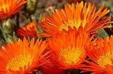 100 GELATO ORANGE ICE PLANT Mesembryanthemum Livingstone Daisy Flower Seeds