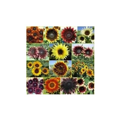 Package of 50 Seeds, Double Dance Mixed Sunflower Seeds (Helianthus annuus) : Garden & Outdoor