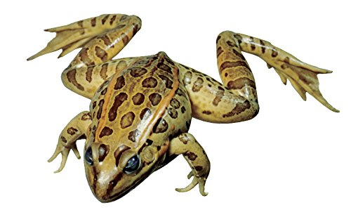 Frey Choice Preserved Grass Frogs - 3.5 4 inches - Pack of 10 ()