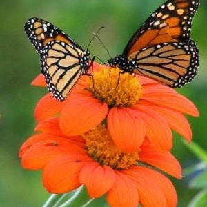 (Mexican Sunflower Seeds - Torch - Packet, Orange Flowers)