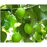 "20pcs/bag Jujube Tree seeds""Zizyphus mauritiana"" rare tropical organic fruit seeds in bonsai, Home garden plant fruit tree seeds"