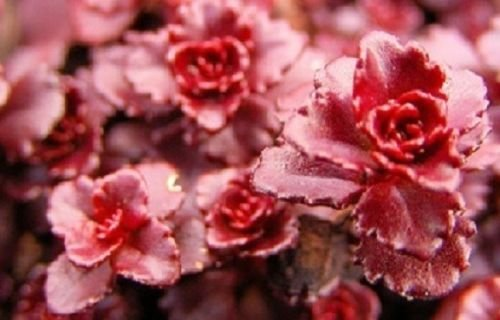 500 Sedum Seeds Dragon Blood GROUND COVER (PERENNIAL)