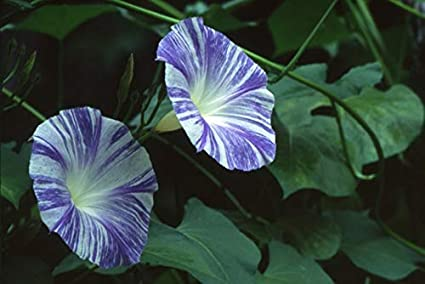 Amazon com : Morning Glory Seeds - Flying Saucers (Ipomoea
