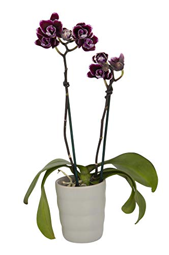 - Color Orchids Live Blooming Phalaenopsis Mini Orchid Plant in Ceramic Pot, 8