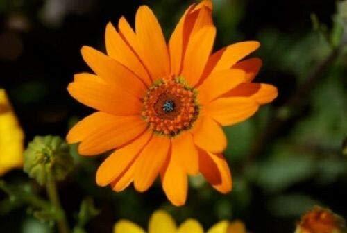 40+ African Daisy Orange Glory Flower Seeds/Annual