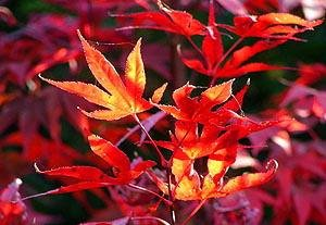 Fireglow Japanese Maple 2 - Year Graft
