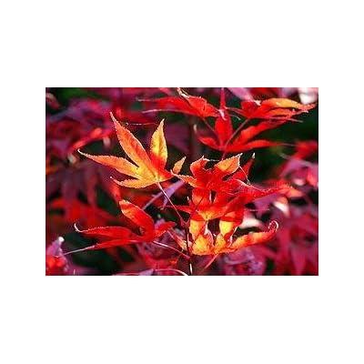Fireglow Japanese Maple 4 - Year PLANT : Garden & Outdoor