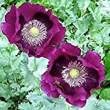 Lauren's Grape Turkish Somniferum Poppy 100 Seeds