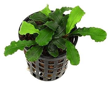 Bucephalandra verde ondulado hoja Planta en maceta acuática para ...