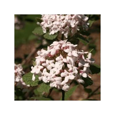 Viburnum-Spice-Girl - QT Pot (Shrub) : Garden & Outdoor