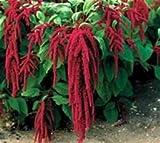 Amaranthus Seeds-Love Lies Bleeding by Juju's Garden