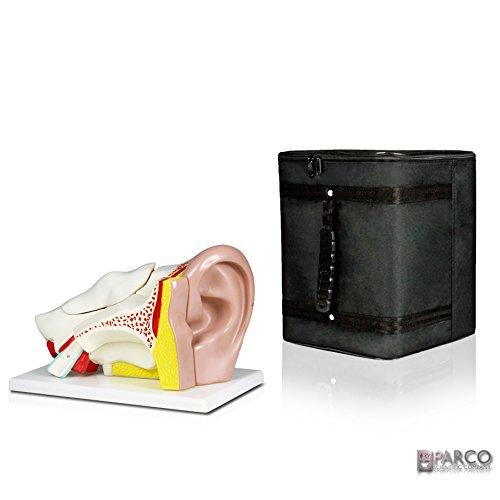 [해외]파 르 코 과학 PB00066-CC3 휴먼이 어 모델-5 부품 휴대용 케이스 / Parco Scientific PB00066-CC3 Human Ear Model ? 5 Parts with Carrying Case