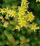 Sedum (Stonecrop) sexangulare 2,000 Seeds