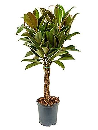 Gummibaum Melany Schöne Zimmerpflanze Für Die Fensterbank Ficus