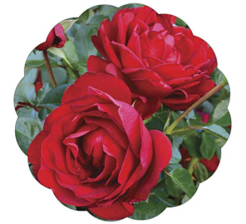 (Stargazer Perennials Desmond Tutu Rose Plant Potted | Reblooming Heat Loving Red Flowers - Own Root Easy To Grow)