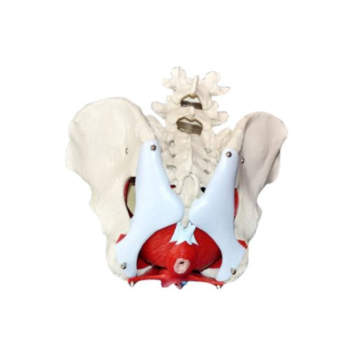 Wellden Product Medical Anatomical Female Pelvis Model with Removable Organs, 6-part, Life Size by Wellden (Image #3)