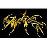Orquídea Brassia warscenwczii