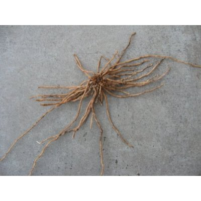 50 2nd year Asparagus Plants/roots