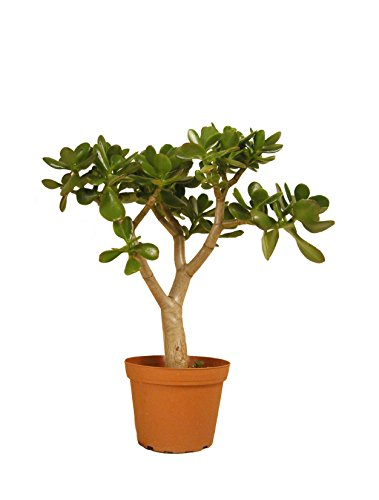 Jade Plant Crasulla Ovata 14