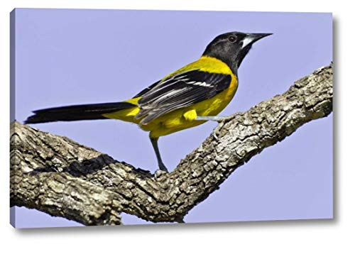 Texas, Santa Clara Ranch Audubon Oriole on Limb by Fred Lord - 16