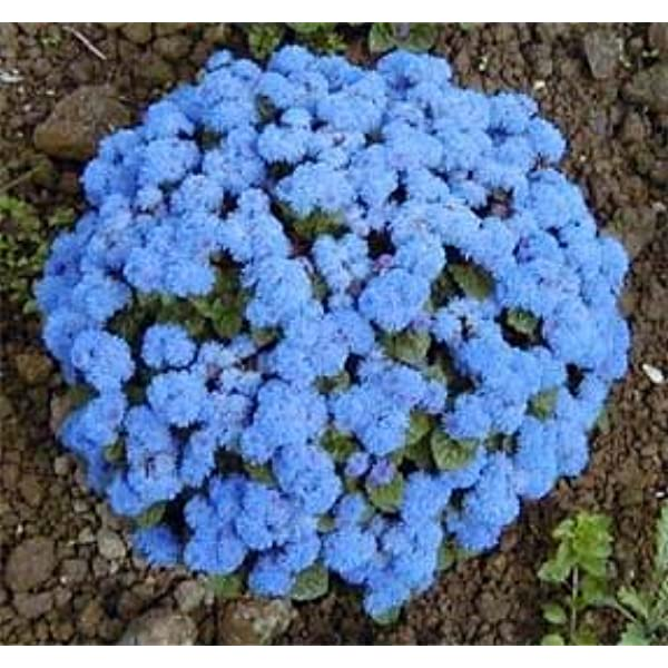 Amazon Com 250 Dwarf Blue Bedder Ageratum Aka Floss Flower Ageratum Houstonianum Flower Seeds Flowering Plants Garden Outdoor