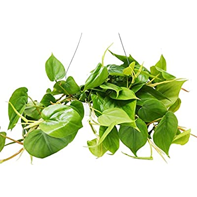 """Cheap Fresh Philodendron Cordatum Heartleaf or 6"""" Pot or Live Plant/House Plant Get 1 Easy Grow #HPS01YN : Garden & Outdoor"""