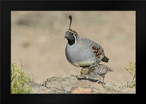 Arizona, Amado Male Gambels Quail with Chick Framed Art Print by Kaveney, - Framed Chicks