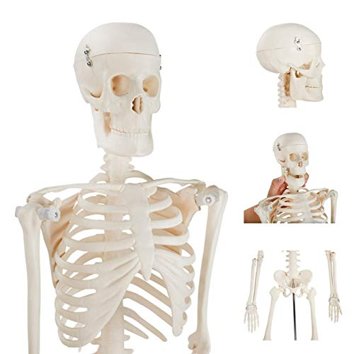 [해외]Scientific Human Skeleton Model ? Human Body Model with Accurate Proportions & Details ? ½ Life-Size Skeleton Model + Metal Stand + Bonus Human Anatomy Poster 33.5 in. / Scientific Human Skeleton Model - Human Body Model with Accu...