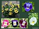 "(PTOR)~""FOURNIERI MIX"" TORENIA~Seeds!~~~~~~Shade Loving Cuties!!"