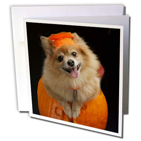3dRose Sandy Mertens Halloween Designs - Happy Pomeranian Dog on Jack o Lantern Halloween, 3drsmm - 1 Greeting Card with Envelope (gc_290230_5) ()